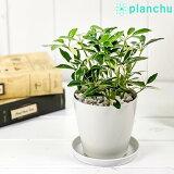 観葉植物 シェフレラ アルボリコラ ムーンドロップ 3.5号鉢 受け皿付き 育て方説明書付き Schefflera arboricola 'Moondrop' ホンコン カポック 斑入り レア