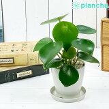 観葉植物 ペペロミア ジェイド 3.5号鉢 受け皿付き 育て方説明書付き Peperomia obtusifolia 'Jade'