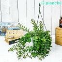 観葉植物 エスキナンサス ボレロ 5号吊り鉢 育て方説明書付き Aeschynanthus 'Bolero' 希少 レア
