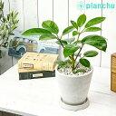 観葉植物 シェフレラ アルパイン 5号樹脂鉢 ホワイト 受け皿付き 育て方説明書付き Schefflera 'Alpine' 希少 レア 珍しい