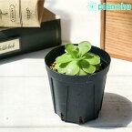 食虫植物 ムシトリスミレ ピンギキュラ 福丸 2号鉢 Pinguicula agnata × colimensis