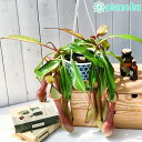 食虫植物 ウツボカズラ ネペンテス アラタ アカネ 5号吊り鉢 Nepenthes alata 育て方説明書付き 狂氣令嬢 茜 アラータ - プランチュ 楽天市場店
