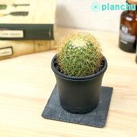 サボテンマミラリア泉丸いずみまる3号鉢Mammillaria