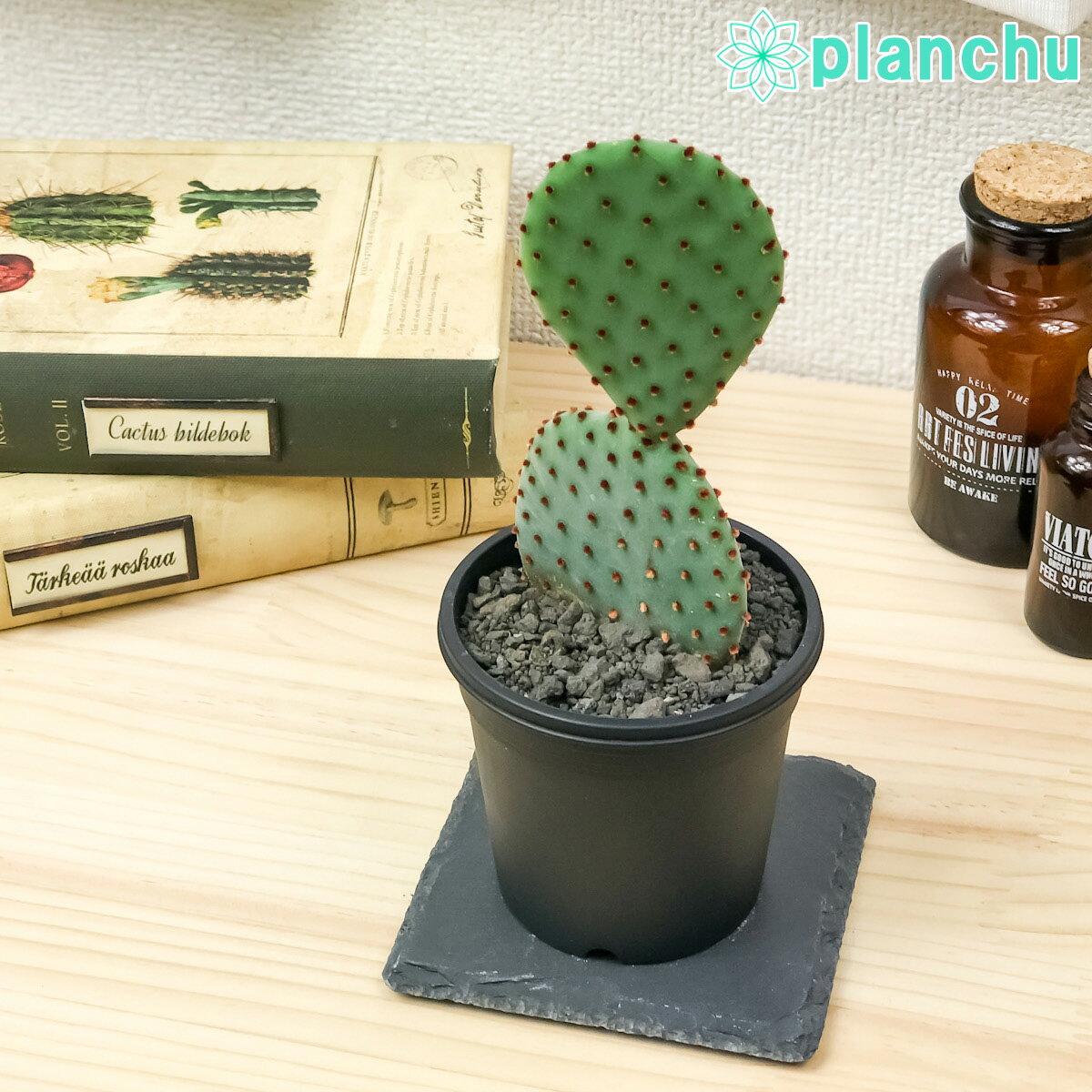 花・観葉植物, 観葉植物  3 Opuntia