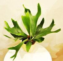観葉植物 プラティセリウム コウモリラン