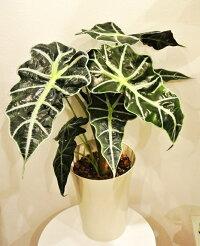 観葉植物 アロカシア アマゾニカ ボリー 7号