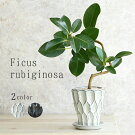 フランスゴム鉢植え信楽焼国産鉢陶器鉢ゴムの木フィカス・ルビギノーサおしゃれ観葉植物卓上サイズ