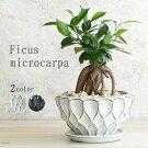 ガジュマル鉢植え信楽焼国産鉢陶器鉢多幸の木おしゃれ観葉植物卓上サイズ