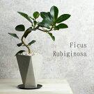 フランスゴム鉢植えセメント鉢水分計のサスティー付きゴムの木フィカス・ルビギノーサ観葉植物