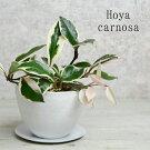 【NEW】ホヤカルノーサリップカラーホワイト鉢植えアイアン受け皿[プラスチック製ポットS]観葉植物多肉植物リビング【卓上サイズ】