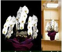 ■【送料無料】【胡蝶蘭・洋らん鉢】《特選品・ビジネススタンダードクラス》XL【大輪ホワイト】「お供え・全般」《個人・法人・企業・団体・ビジネス》フラワーギフト