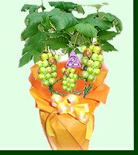 【送料無料】≪ぶどうの王様≫【巨峰】ブドウおうちで収穫が楽しめる♪・小さな果樹園が楽しめ...