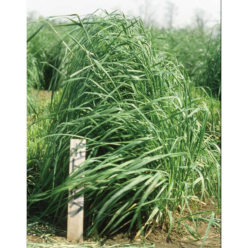 【種 4kg】 オーチャードグラス ポトマック 早生 牧草 緑肥 [播種期:4〜10月] 雪印種苗 米3【代引不可】