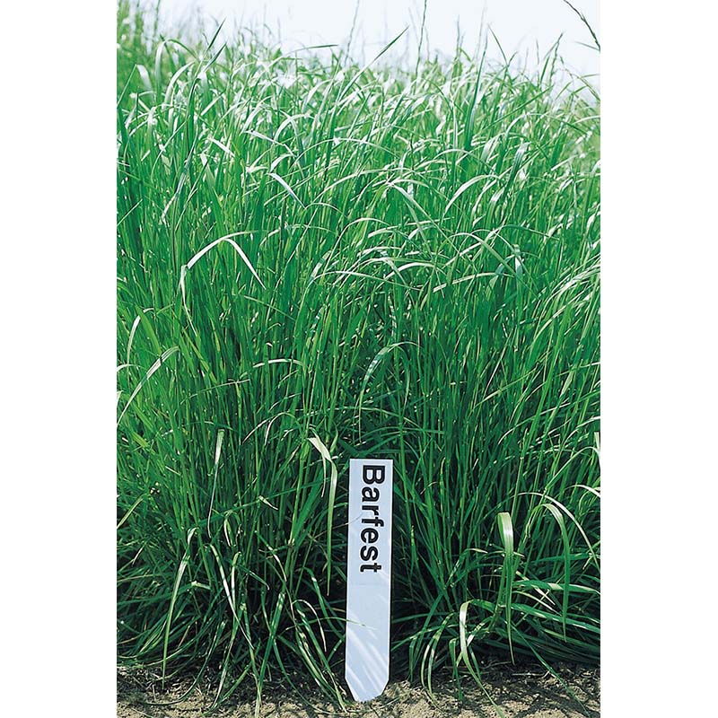 【種 10kg】 フェストロリウム バーフェスト 晩生 酪農 畜産 緑肥 [播種期:4〜10月] 雪印種苗 米3【代引不可】
