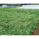 種 1kg × 5袋 緑肥用ライ麦 晩生 らい麦 罹病防止 雪耐性 冬越 抑制 酪農 畜産 緑肥 牧草 タキイ種苗 米S 代引不可