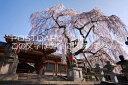 奈良県 奈良市 氷室神社のしだれ桜のポストカード葉書はがき