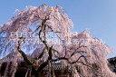 奈良県 奈良市 奈良 氷室神社のしだれ桜のポストカード葉書は