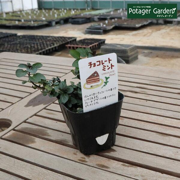 ハーブ苗チョコレートミント(ハーブティハッカ油虫除けグリーン鉢植え栽培方法育て方使い方選び方種類花苗簡単プランターセット栽培キッ