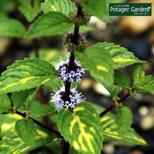 ハーブ苗ジンジャーミント(ハーブティハッカ油虫除けグリーン鉢植え栽培方法育て方使い方選び方種類花苗簡単プランター栽培キットミント