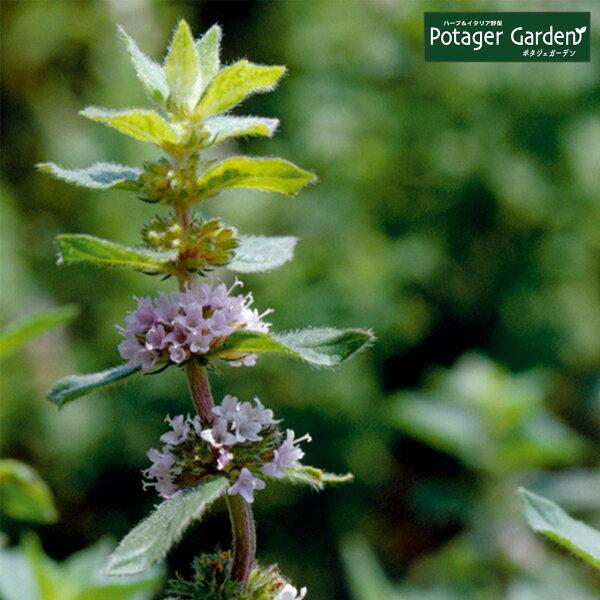ハーブ苗レモンミント(ハーブティハッカ油虫除けグリーン鉢植え栽培方法育て方使い方選び方種類花苗簡単プランターセット栽培キットもミ