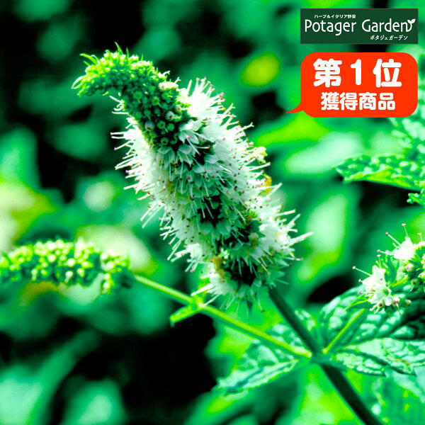 ハーブ苗スペアミント(ハーブティハッカ油虫除けグリーン鉢植え栽培方法育て方使い方選び方種類花苗簡単プランターセット栽培キットミン