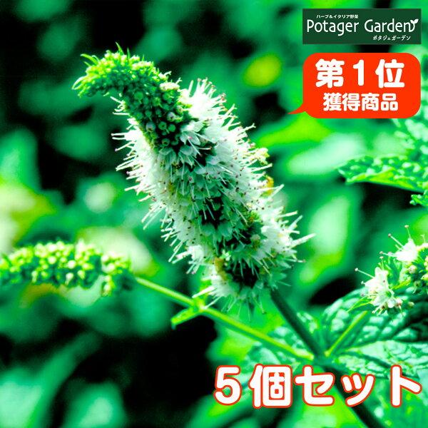 ハーブ苗セットスペアミント5個(ハーブティハッカ油虫除けグリーン鉢植え栽培方法育て方使い方選び方種類花苗簡単プランター栽培キット
