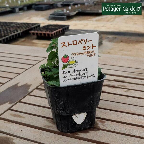 ハーブ苗ストロベリーミント(イチゴ苺ハッカ油虫除けグリーン鉢植え栽培方法育て方使い方選び方種類花苗簡単プランターセット栽培キット