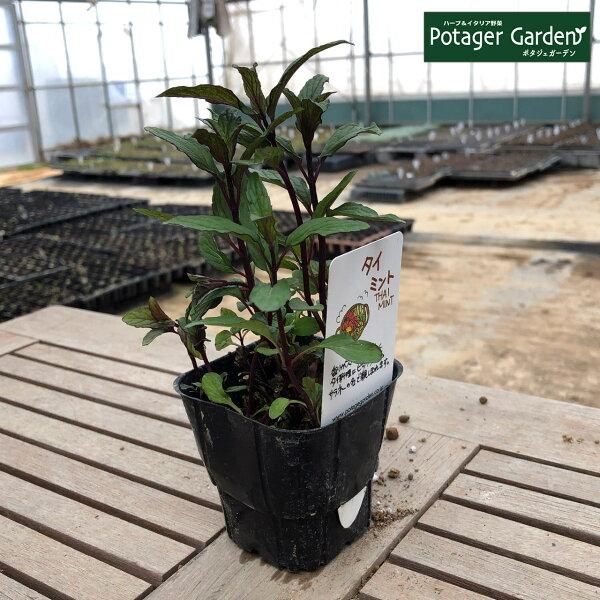 ハーブ苗タイミント(タイ料理ハッカ油虫除けグリーン鉢植え栽培方法育て方使い方選び方種類花苗簡単プランターセット栽培キットもミント