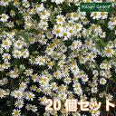 【TV紹介商品】ハーブ 苗 ジャーマンカモマイル 20個(カ