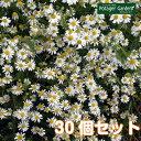 【TV紹介商品】ハーブ 苗 ジャーマンカモマイル 30個(カ