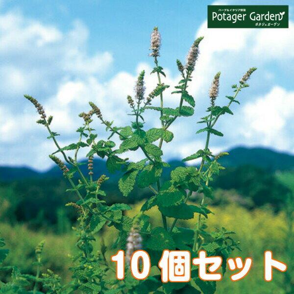 ハーブ苗セットアップルミント10個(ハーブティーハッカ油虫除けグリーン鉢植え栽培方法育て方使い方選び方種類花苗簡単プランター栽培
