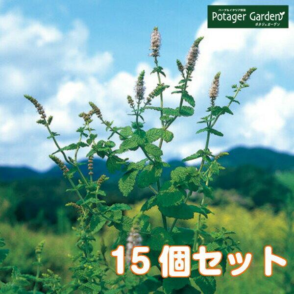 ハーブ苗セットアップルミント15個(ハーブティーハッカ油虫除けグリーン鉢植え栽培方法育て方使い方選び方種類花苗簡単プランター栽培