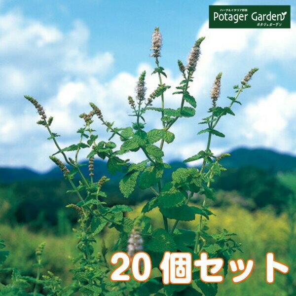 ハーブ苗セットアップルミント20個(ハーブティーハッカ油虫除けグリーン鉢植え栽培方法育て方使い方選び方種類花苗簡単プランター栽培