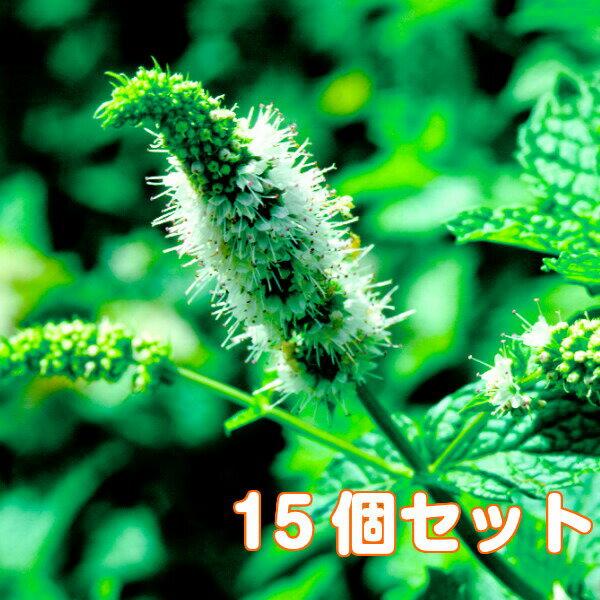 ハーブ苗セットスペアミント15個(ハーブティーハッカ油虫除けグリーン鉢植え栽培方法育て方使い方選び方種類花苗簡単プランター栽培キ