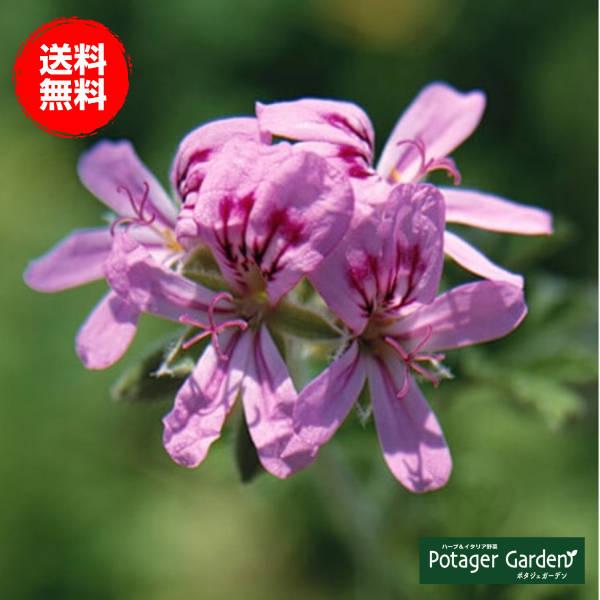 ローズゼラニウムの苗花がかわいい大きなハーブ苗