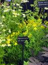 夏に黄色のとてもかわいい花を咲かせます!ハーブ苗専門店のセントジョーンズワート9cmポット苗