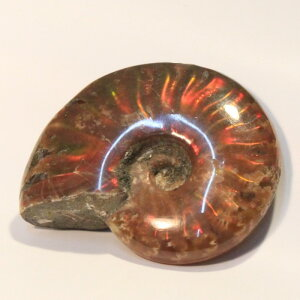 アンモナイト 化石|Ammonite ...
