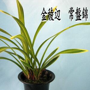 『金稜辺(きんりょうへん)常盤錦』☆花芽2芽付き☆キンリョウヘン