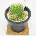 サボテン・多肉植物 エキノプシス カロクロラ 金盛丸 学名:Echinopsis calochlora