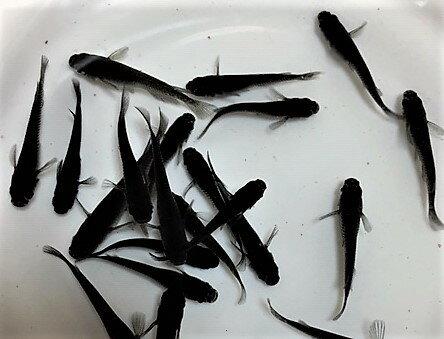 ※【極黒、若魚】オロチめだか、10匹の販売になります。