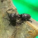 カブトムシ (成虫 生体) フリーサイズ ペア