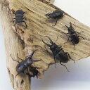 ノコギリクワガタ セット 小型5匹 国産 生体 成虫