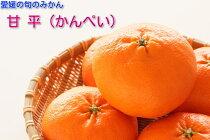 【愛媛育ちの坊ちゃん】柑橘のニューフェース甘平(かんぺい)