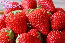 【島根の旬の果物】紅ほっぺ苺たっぷり4パック入り箱