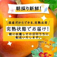 【こだわり農家直送】沖縄県名護市源河沖縄農村事務所農薬不使用濃厚ジューシー朝採り完熟パワーみなぎる農家国産やんばるマンゴー