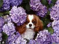 Cavalier King Charles Spaniels for Beginners【電子書籍】[ Sara Fitzgerald ][楽天Kobo電子書籍ストア]