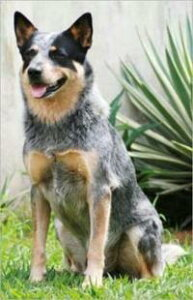 Australian Cattle Dogs for Beginners【電子書籍】[ Clint Hooser ]