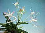 富貴蘭 フウキラン 轡虫 風蘭 フウラン 花物