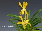 交配種 イエロードラゴン(黄龍)蘭 ラン 風蘭 フウラン 洋蘭