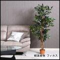 観葉植物フィカス690A52661送料無料